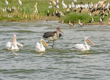 Marabou Stork chasing Three Great White Pelicans Stock Photo