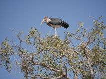 Marabou stork at Chobe National Park. Chobe national park, Botswana-August 1, 2015:  It is home to an abundance of wildlife Royalty Free Stock Image