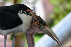Marabou stork. Close up of a marabou stork Stock Image