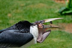 Marabou stork. Close up of a marabou stork catching food in its mouth Royalty Free Stock Photo