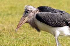 Marabou stork Royalty Free Stock Photos
