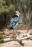 Marabou Stork Royalty Free Stock Photos