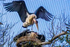 Marabou stork couple protecting their nest, aggressive bird behavior during breeding season in spring, tropical birds from Africa. A marabou stork couple royalty free stock photo