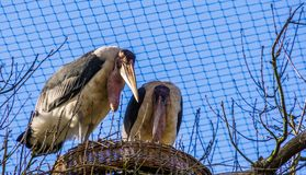 Marabou stork couple standing in their nest together, tropical birds during breeding season, tropical animal specie from Africa. A marabou stork couple standing royalty free stock photos