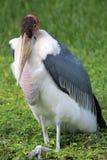 Marabou stork facing camera Stock Images