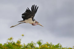 Marabou stork in flight. Profile Marabou stork (Leptoptilos crumeniferus) in flight on grey sky background Stock Images
