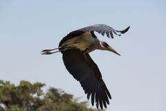Marabou Stork in flight Stock Image