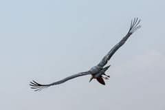 Marabou Stork in flight Royalty Free Stock Photo