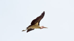Marabou Stork in flight Royalty Free Stock Photo