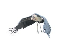 Marabou stork. The flying adult marabou (leptoptilos crumeniferus Royalty Free Stock Images