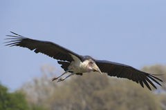 Marabou Stork flying Royalty Free Stock Photos