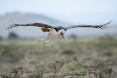 Marabou Stork Flying Stock Images