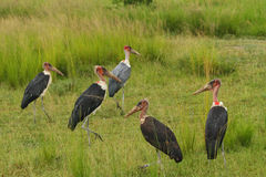 Marabou Stork Group in the Grasslands Stock Images