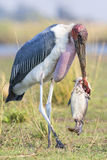 Marabou Stork with huge catfish in beak Stock Images
