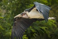 Marabou stork inflight. Closeup of a Marabou stork bird in flight stock images