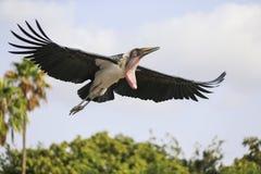 Marabou Stork landing on the grassland Stock Photos