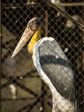 Marabou stork. The marabou stork is a large wading bird in the stork family Ciconiidae. It breeds in Africa south of the Sahara, in both wet and arid habitats royalty free stock photo