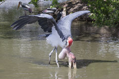 Marabou stork, a large wading bird Stock Photography