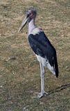 Marabou stork 8 Stock Photos