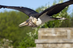 Marabou stork (leptopilos crumeniferus) flying Royalty Free Stock Photography