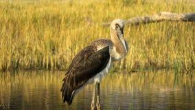 Marabou stork Leptoptilos crumenife on riverbank of Khwairiver, Okavango Delta. Marabou stork Leptoptilos crumenifer on the riverbank of Khwairiver, Okavango stock photo