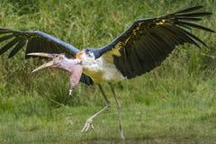 Marabou Stork. Leptoptilos crumenife,running, wings extended out Stock Photos