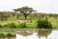 Marabou stork Leptoptilos crumenifer by the lake. The marabou stork Leptoptilos crumenifer, large wading bird in the stork family Ciconiidae , called `undertaker stock photo