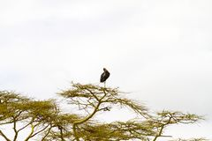 The marabou stork Leptoptilos crumenifer in a tree. The marabou stork Leptoptilos crumenifer, large wading bird in the stork family Ciconiidae , called ` Royalty Free Stock Image