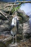 Marabou stork Leptoptilos crumenifer -- large wading bird in the stork family Ciconiidae.  stock image