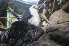 Marabou stork Leptoptilos crumenifer -- large wading bird in the stork family Ciconiidae.  royalty free stock image