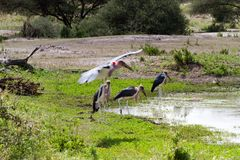 The marabou stork Leptoptilos crumenifer. Large wading bird in the stork family Ciconiidae , called `undertaker bird` due to its shape from behind: cloak-like stock photography