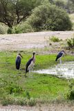 The marabou stork Leptoptilos crumenifer. Large wading bird in the stork family Ciconiidae , called `undertaker bird` due to its shape from behind: cloak-like Royalty Free Stock Images