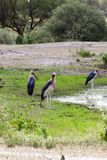 The marabou stork Leptoptilos crumenifer. Large wading bird in the stork family Ciconiidae , called `undertaker bird` due to its shape from behind: cloak-like Royalty Free Stock Photography