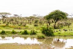 Marabou stork Leptoptilos crumenifer in Serengeti National Park. The marabou stork Leptoptilos crumenifer, large wading bird in the stork family Ciconiidae royalty free stock images