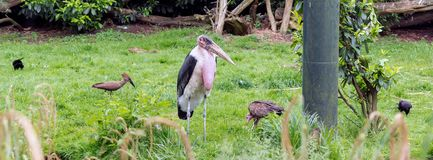 Marabou stork Leptoptilos crumenifer standing on the green among smaller birds stock photo