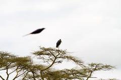 Marabou stork Leptoptilos crumenifer in a tree. The marabou stork Leptoptilos crumenifer, large wading bird in the stork family Ciconiidae , called `undertaker Royalty Free Stock Photos