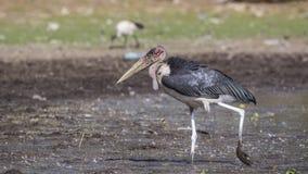 Marabou Stork Wading in Pond. Marabou stork, Leptoptilos crumenifer, is wading in lake in Ziway, Ethiopia, Africa royalty free stock photos