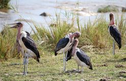 Marabou stork (Leptoptilos crumeniferos) Royalty Free Stock Photos
