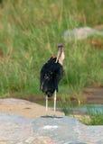 Marabou stork; Leptoptilos crumeniferus Stock Photography