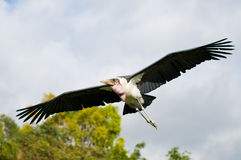 Marabou stork (Leptoptilos crumeniferus). The wingspan of marabou stork Stock Photos