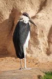 Marabou Stork - Leptoptilos crumeniferus Royalty Free Stock Photo