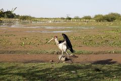 Marabou stork (Leptoptilos crumeniferus) Stock Photo