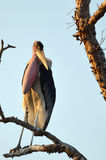 Marabou Stork (Leptoptilos crumeniferus) Stock Photos