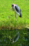 The Marabou Stork. Leptoptilos crumeniferus, is a large wading bird in the stork family Ciconiidae. It breeds in Africa south of the Sahar Stock Photo