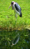 The Marabou Stork. Leptoptilos crumeniferus, is a large wading bird in the stork family Ciconiidae. It breeds in Africa south of the Sahar Royalty Free Stock Image