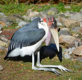 The Marabou Stork. Leptoptilos crumeniferus, is a large wading bird in the stork family Ciconiidae. It breeds in Africa south of the Sahara royalty free stock photography