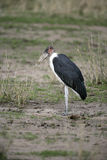 Marabou stork, Leptoptilos crumeniferus Royalty Free Stock Photo