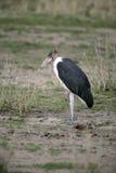 Marabou stork, Leptoptilos crumeniferus Royalty Free Stock Photo