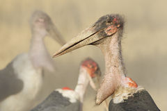 Marabou Stork (Leptoptilos crumeniferus), South Africa. Marabou Stork portrait, (Leptoptilos crumeniferus) South Africa Stock Image