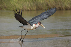 Marabou Stork (Leptoptilos crumeniferus) South Africa Royalty Free Stock Photos